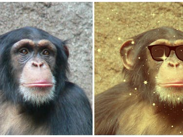 Chimp Science Reveals How Society's Losers Become Influencers
