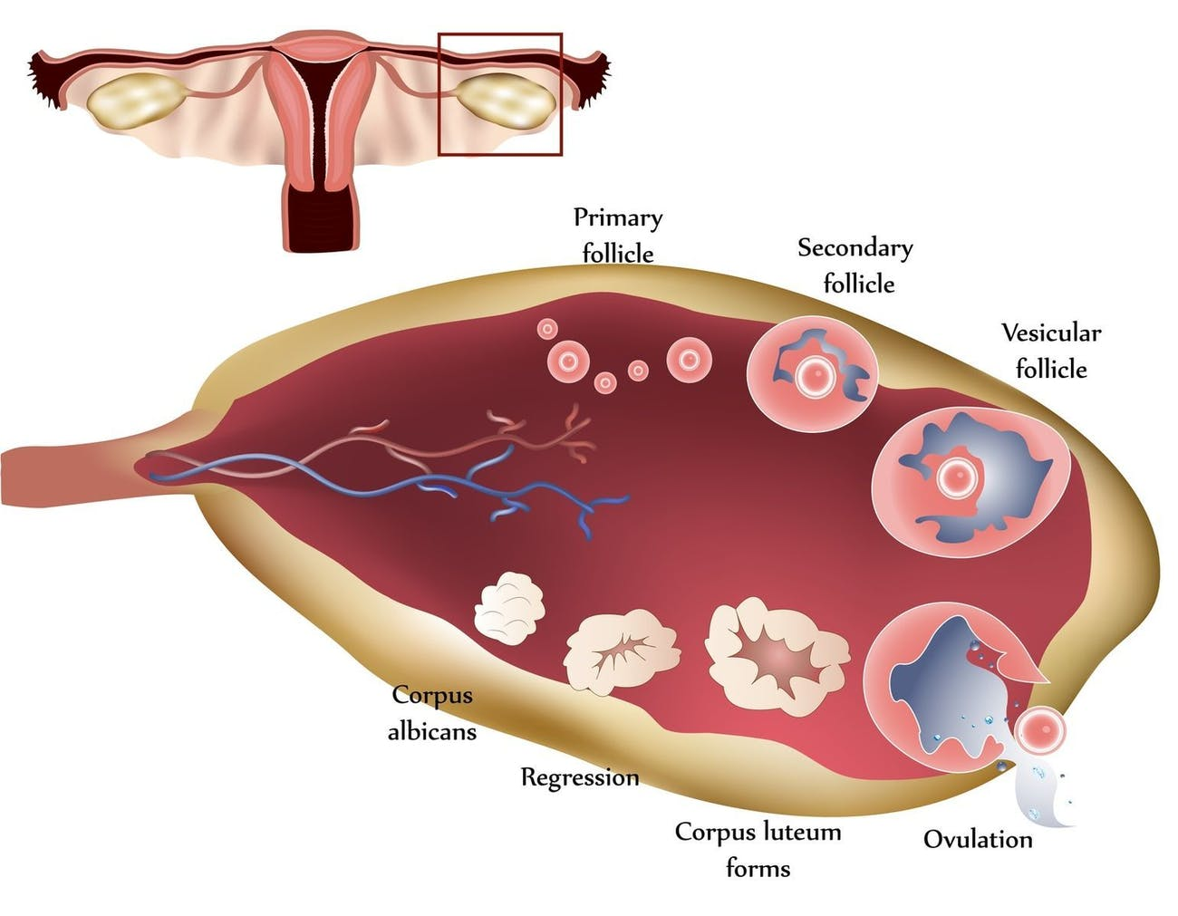 The ovaries and their follicles.
