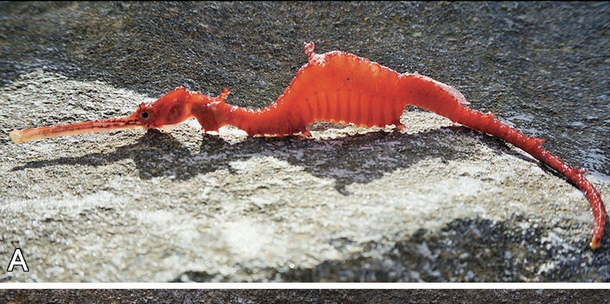 ruby sea dragon specimen
