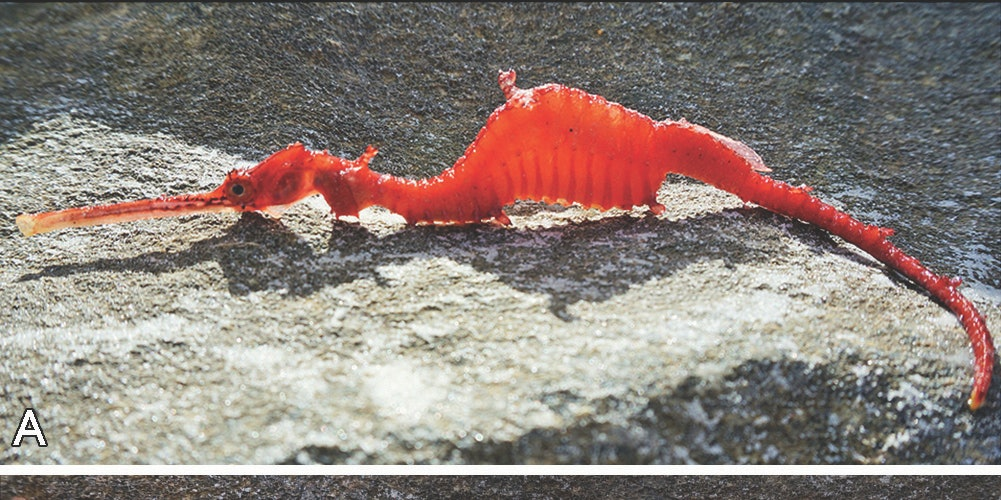 ruby sea dragon specimen