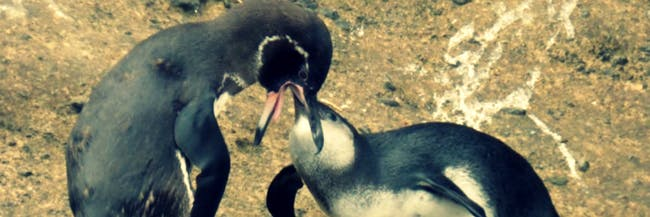 Penguin parents can't stop feeding their large adult sons