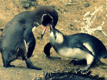 Penguin Parents Won't Stop Feeding Their Large Adult Sons