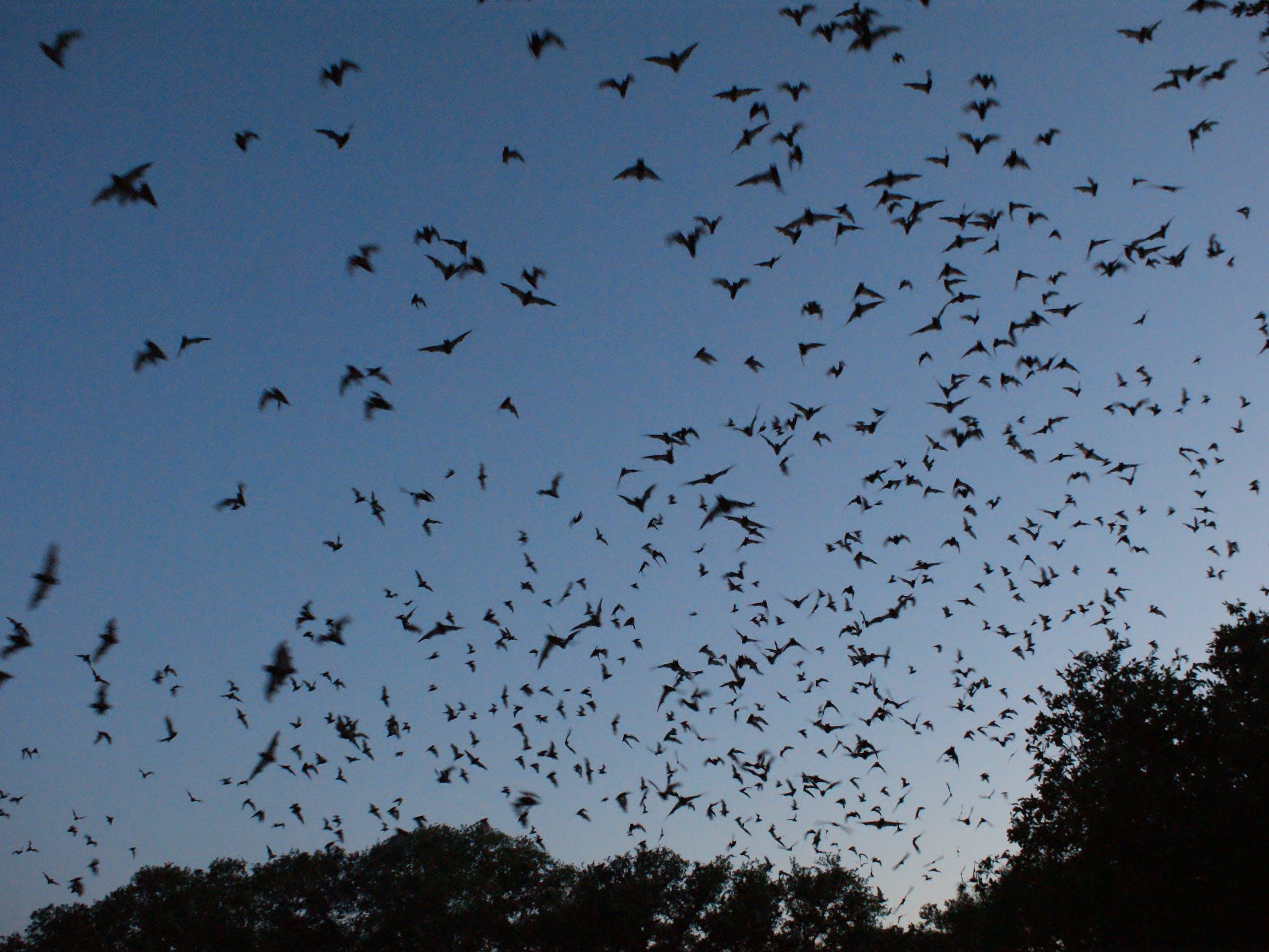 Bracken Cave Bats