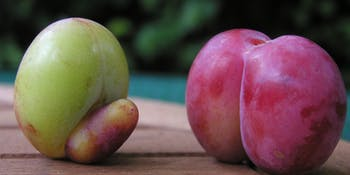 fruit plum peach butt penis sex lol B^) hell yeah h*ck yes