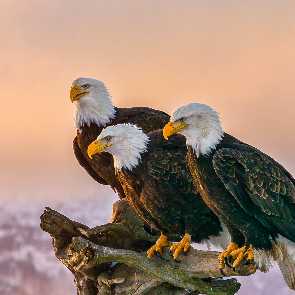 New virus found in a third of America's bald eagles