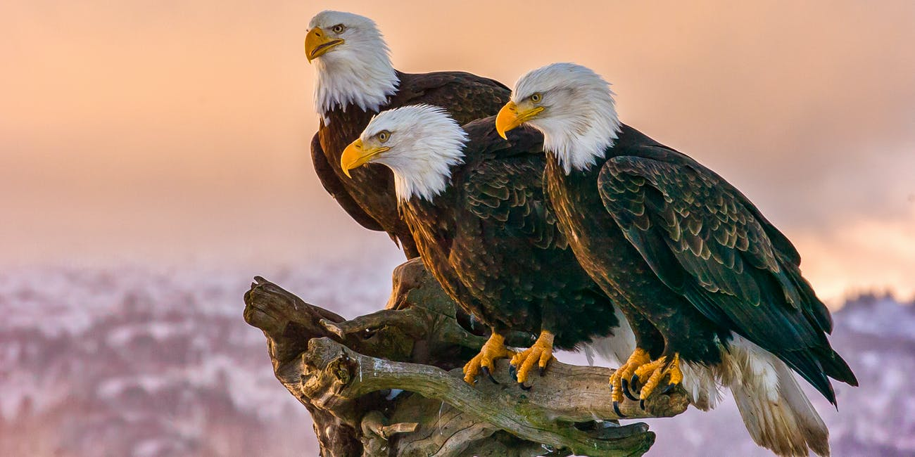 three bald eagles perched on a branch