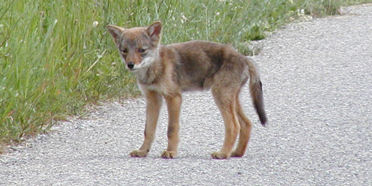 Why You Shouldn T Feel Bad About Coyote Fur On That Canada