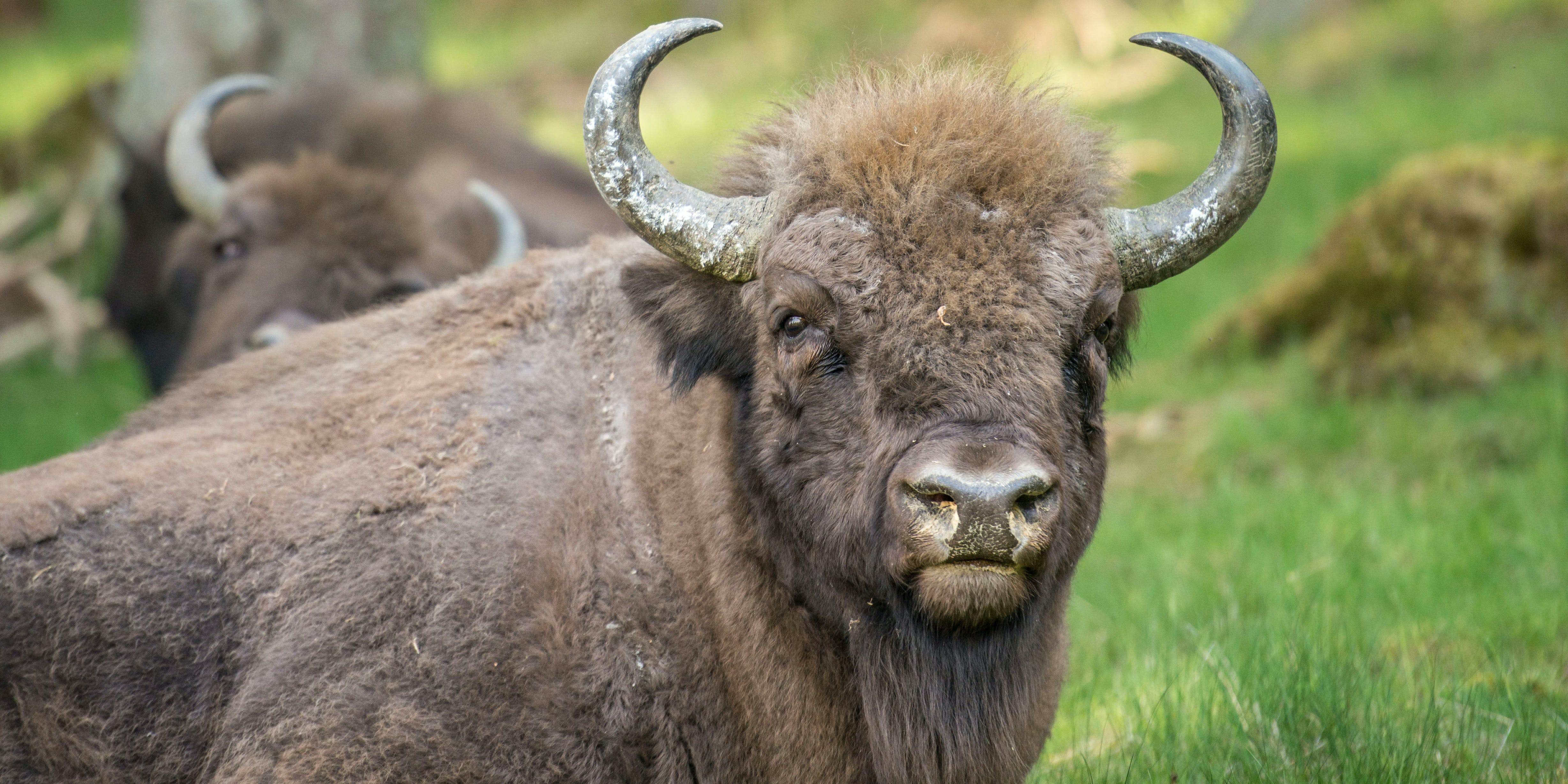 The Bison Is Now America's National Mammal