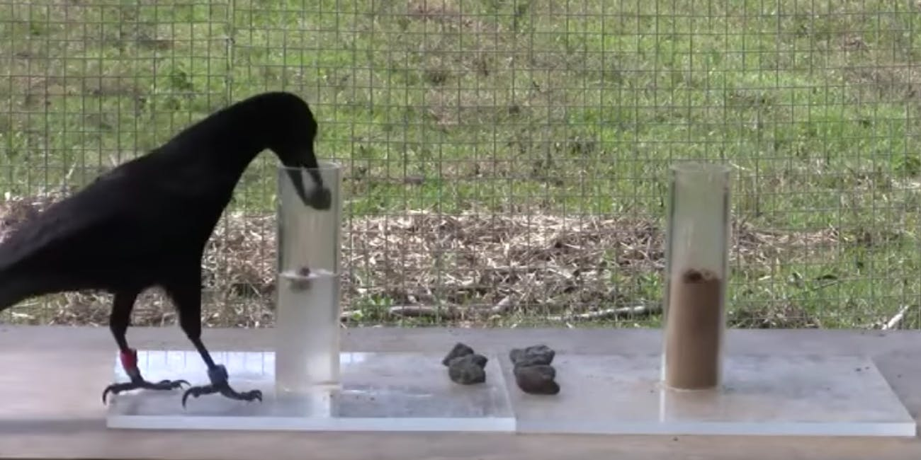 Splish splash, this crow's bathing a rock