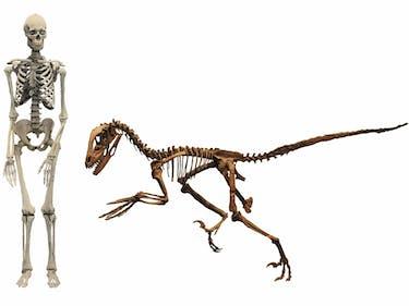 human dinosaur bones