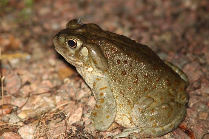 TOAD, GIANT SONORAN (Bufo alvarius) (8-2-10) YARD, WEST OF PATAGONIA, Santa Cruz Co, AZ -01