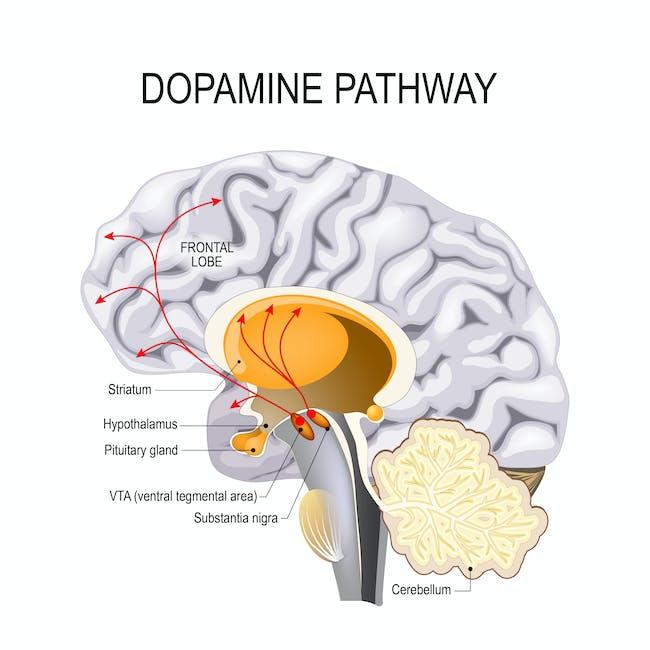 Illustration of the Dopamine Pathway