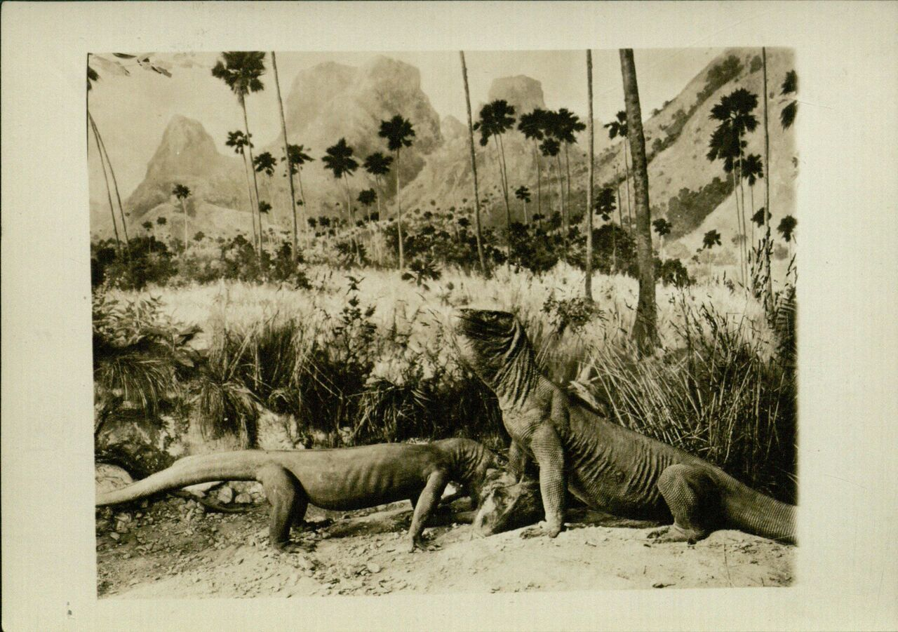 A photograph of Komodo dragons from the expedition.