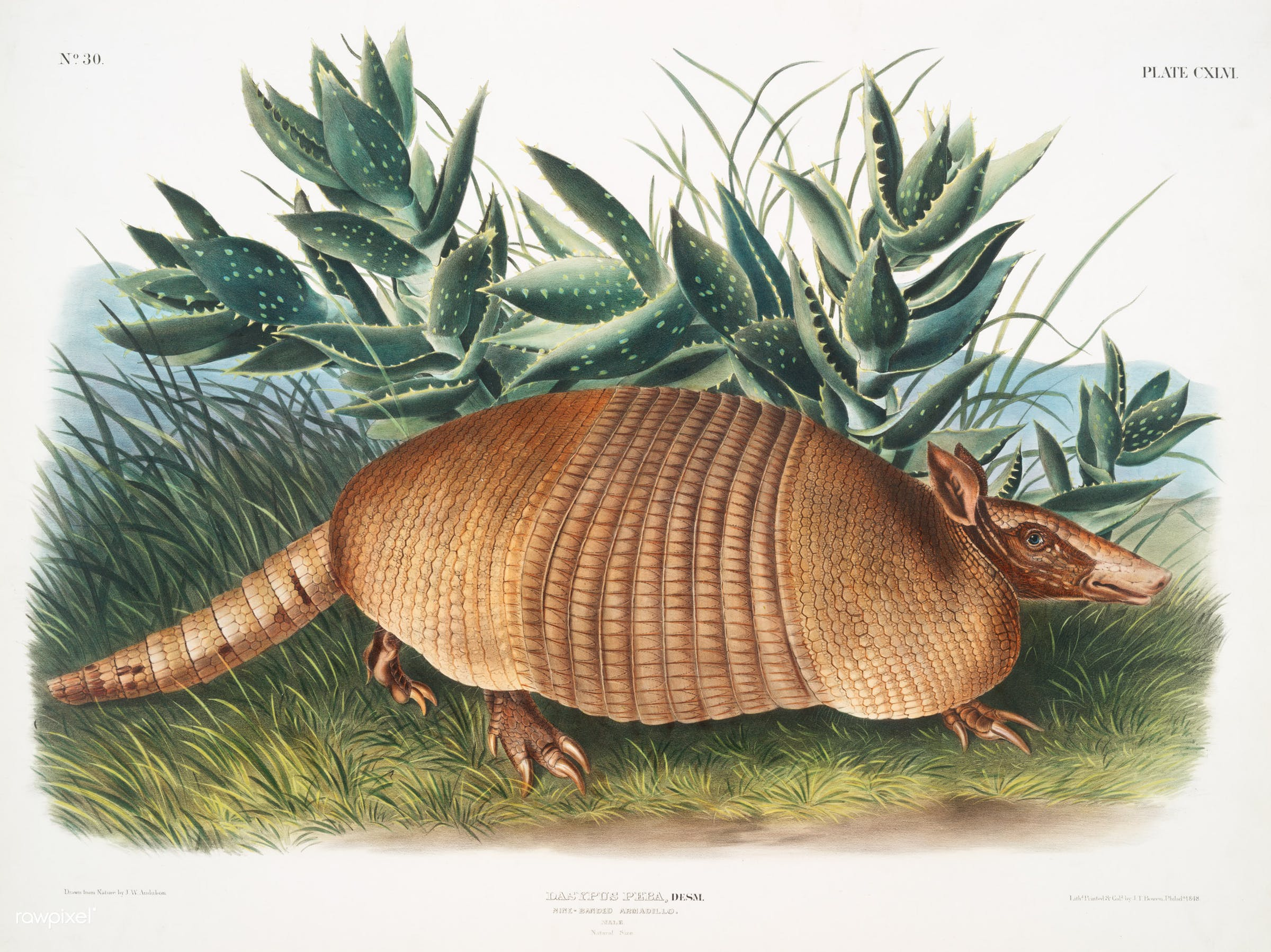Nine-banded Armadillo (Dasypus Peba) from the viviparous quadrupeds of North America (1845) illustrated by  John Woodhouse Audubon (1812-1862)
