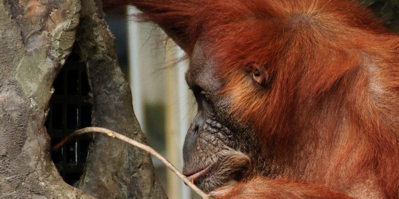 orangutan stick tool