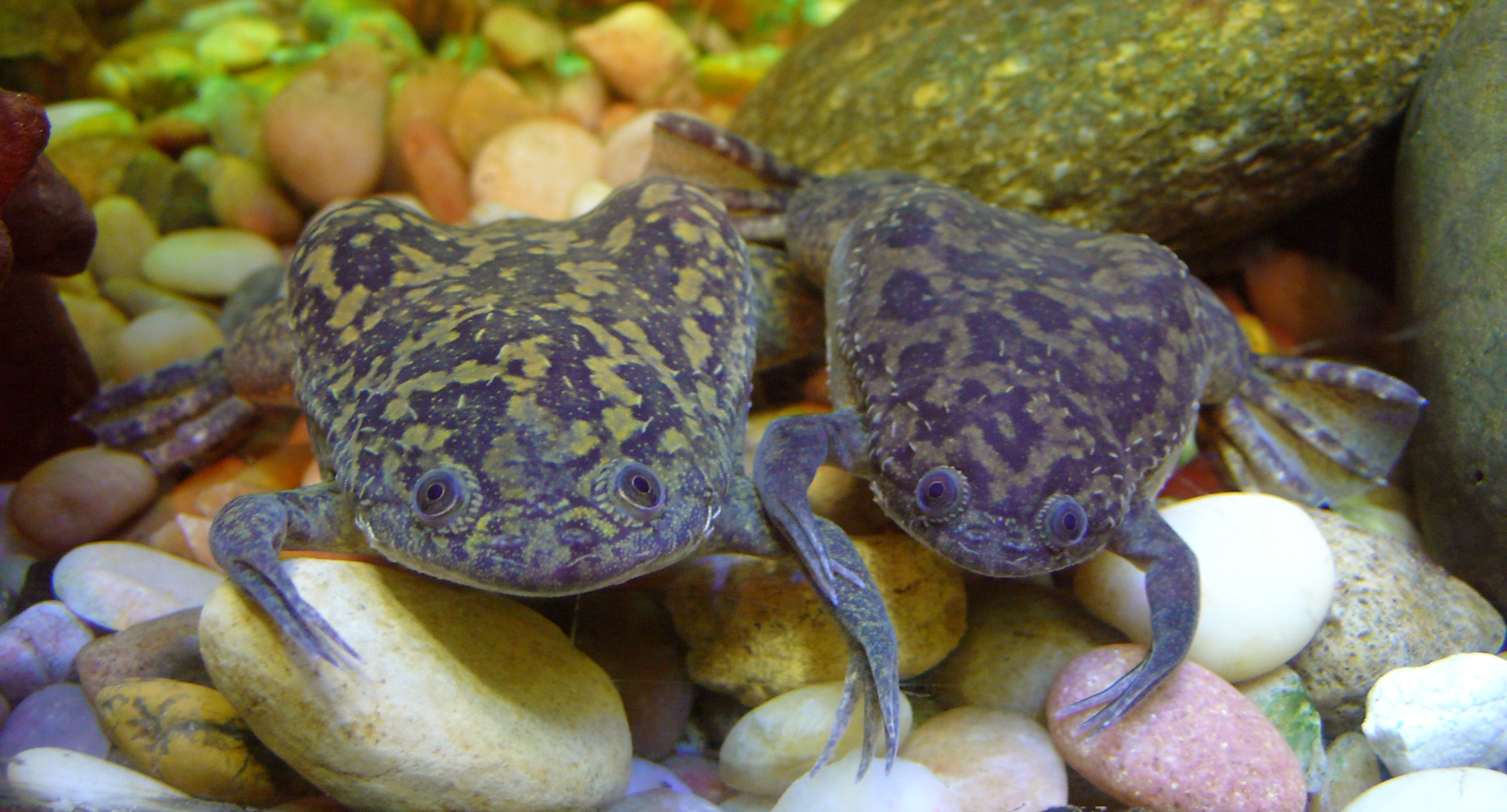 The retinas of Xenopus laevis tadpoles, treated with synthetic cannabinoids, were more sensitive to dim and bright light than their weed-free counterparts.
