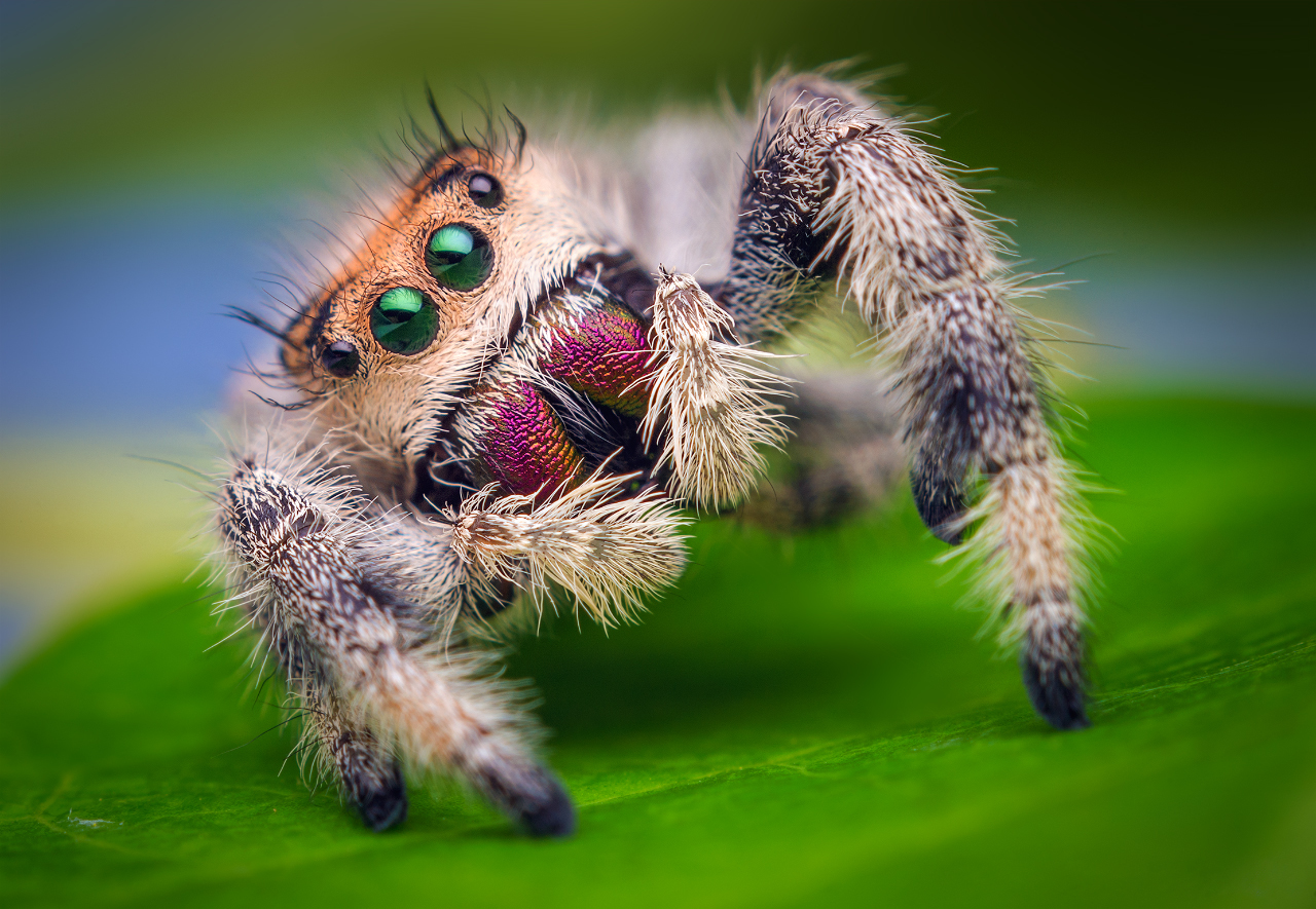 Spider Trained to Jump on Command Reveals Insights On