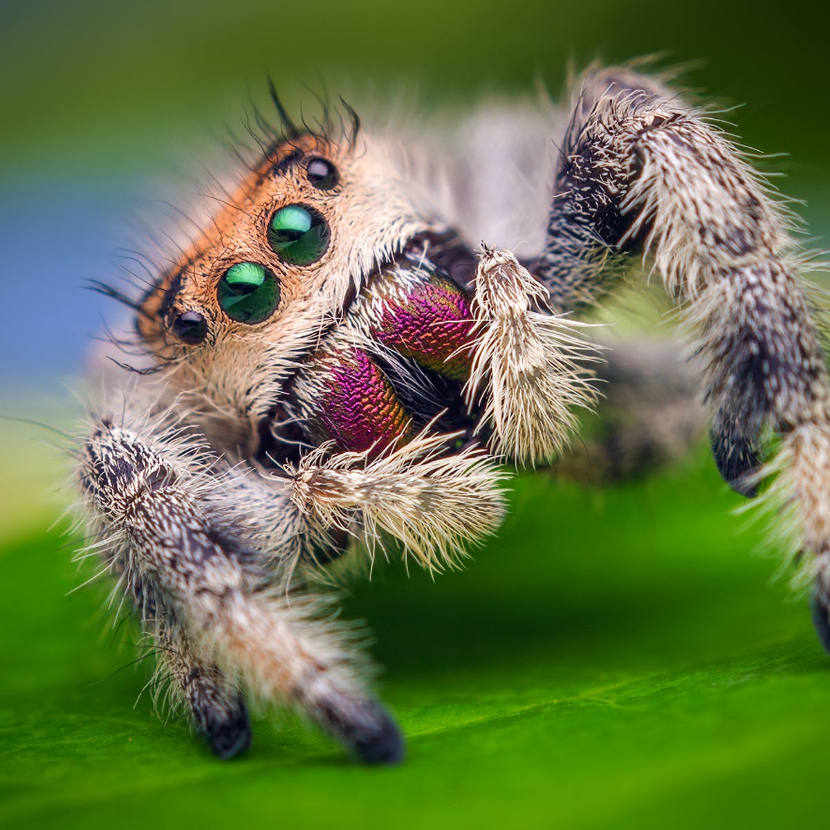 Spider Trained To Jump On Command Reveals Insights On Hydraulic
