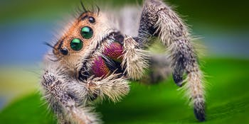 Spider, regal jumping spider