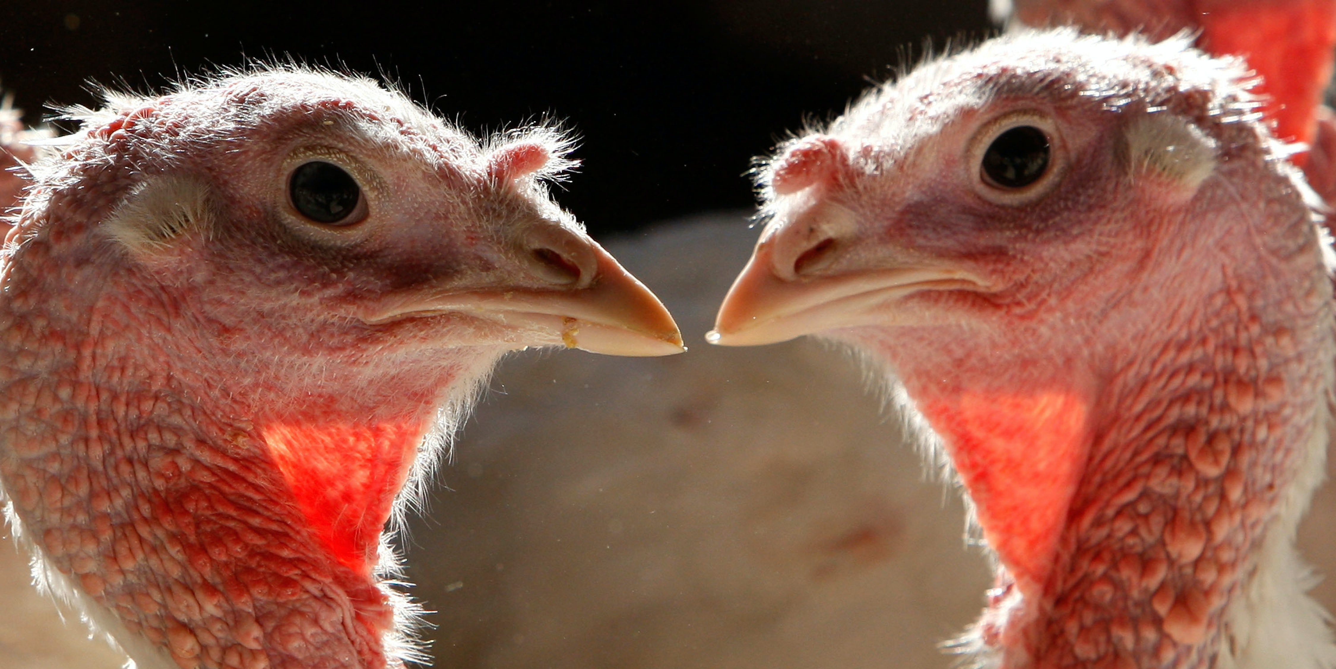 SONOMA, CA - NOVEMBER 19:  With less than one week before Thanksgiving, two turkeys touch their beaks in a feeding house at the Willie Bird Turkey Farm November 19, 2007 in Sonoma, California. An estimate of more than forty-five million turkeys are cooked and eaten during the annual Thanksgiving meals in the United States.  (Photo by Justin Sullivan/Getty Images)