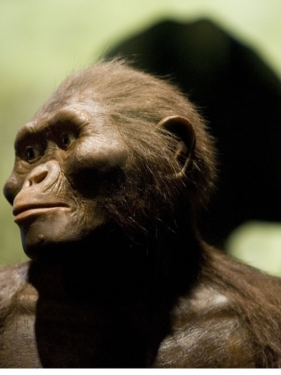 A sculptor's rendering of the Australopithecus afarensis, of which Lucy is the most famous example.