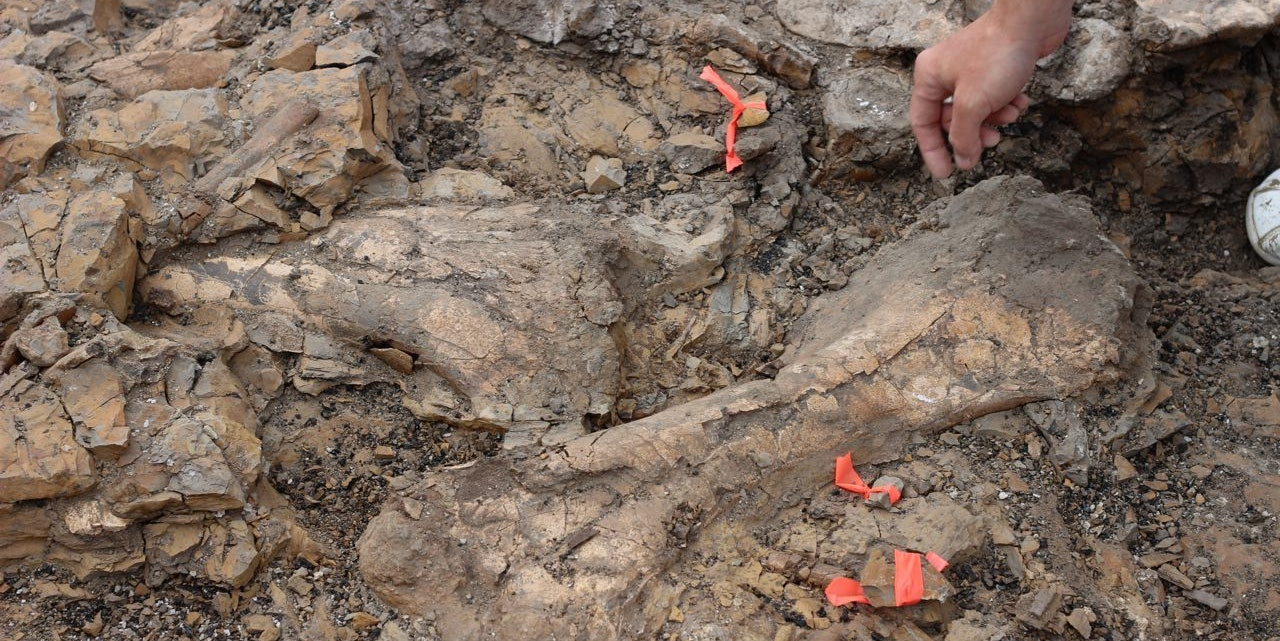 Centrosaur bones form a jumbled pile on the excavated surface of the bonebed.