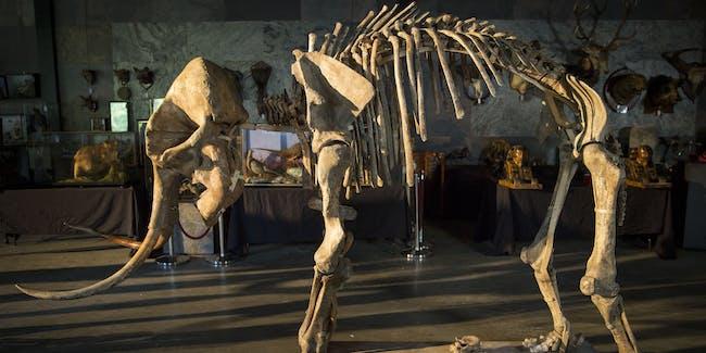 wooly mammoth bones