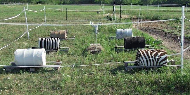 barrels, zebra study