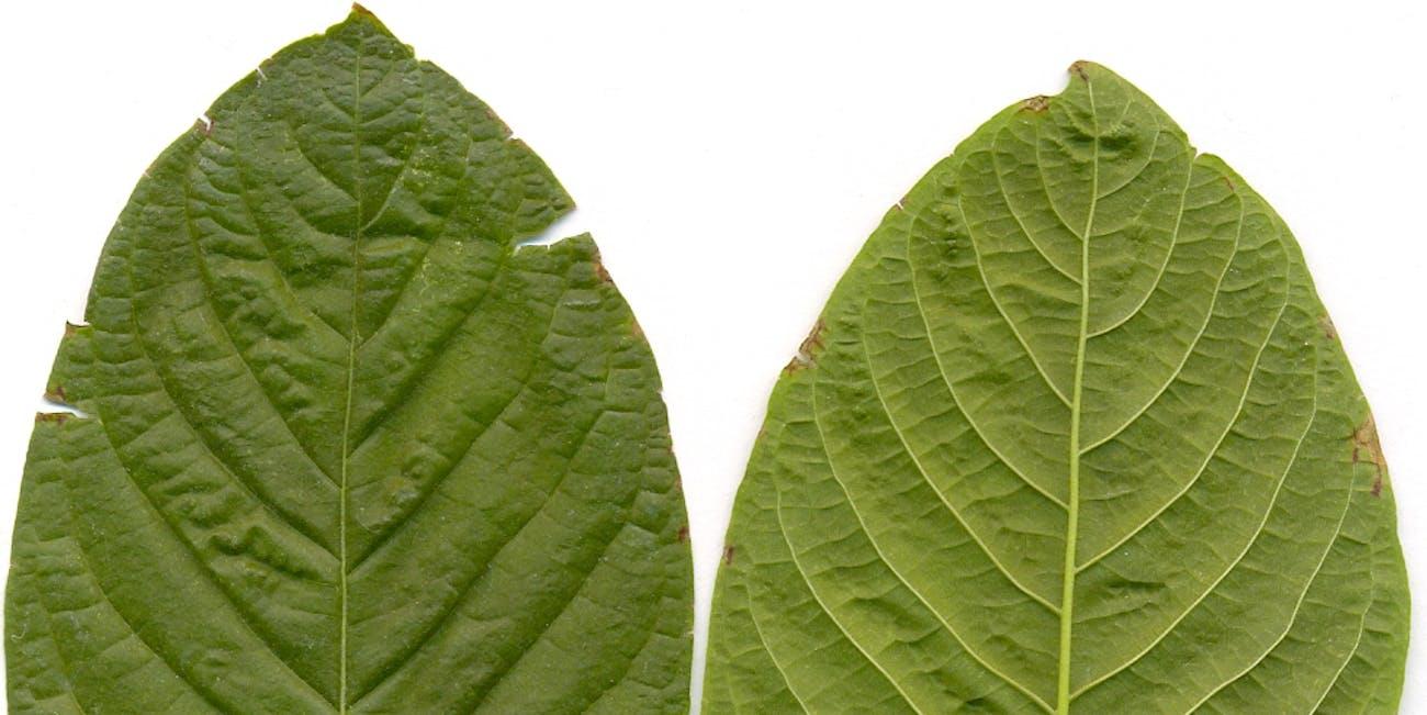 Kratom leafes