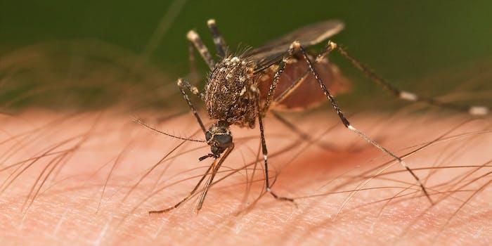 Mosquito Tasmania