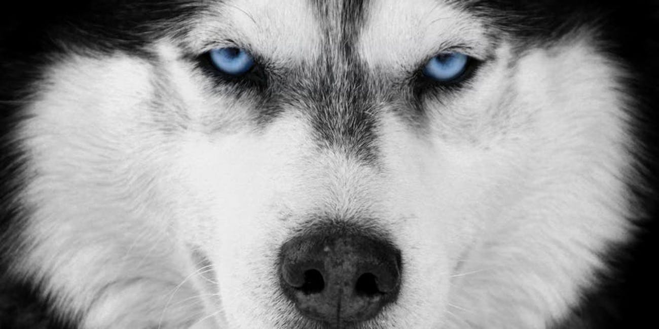 A Siberian Husky With Some Baby Blues