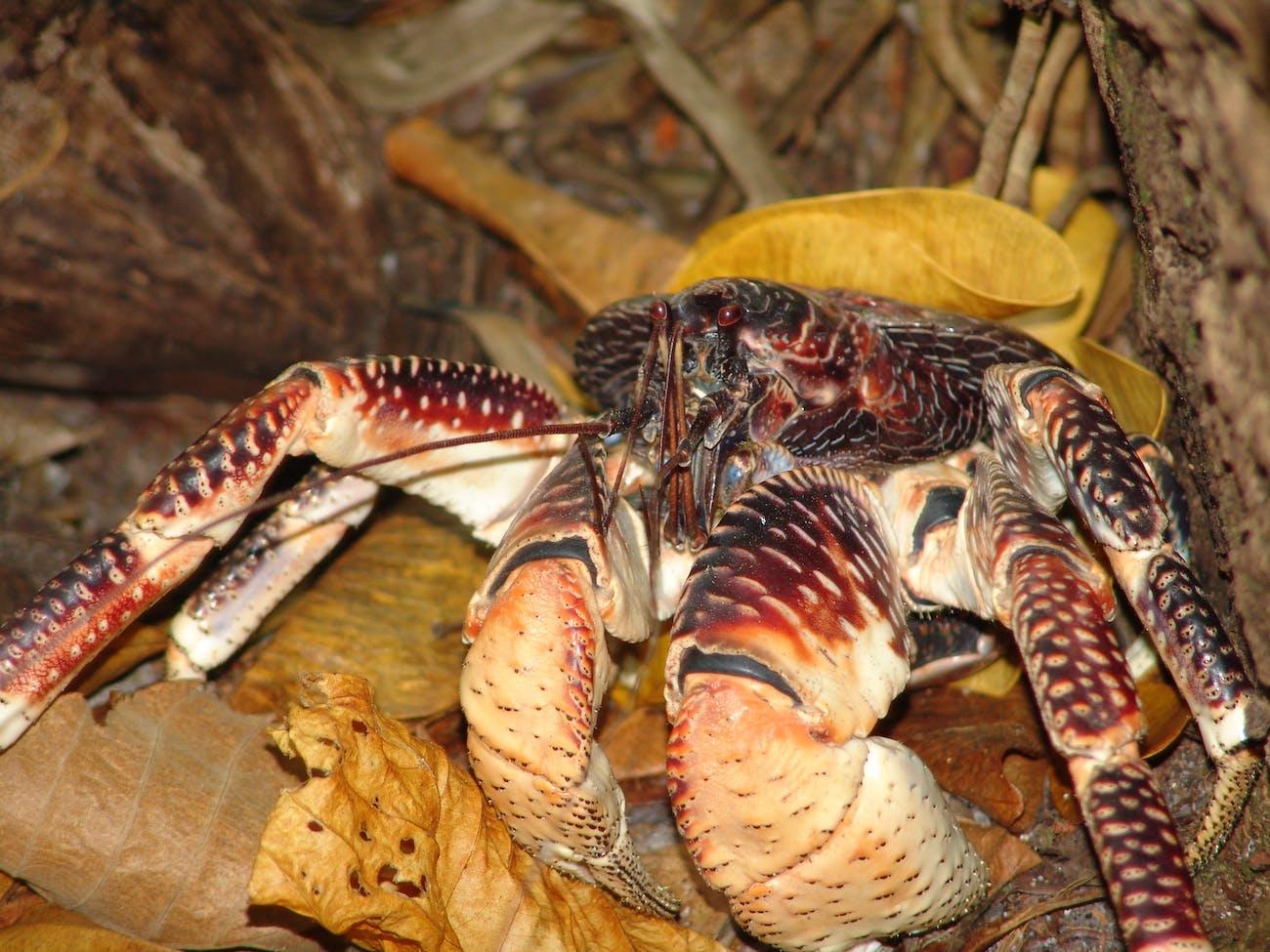 Coconut Crab  {Birgus latro}#3