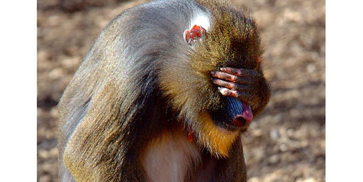 a-mandrill-in-facepalm-y-repose.jpeg?rec