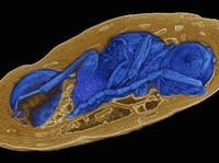 Synchrotron X-ray micro tomography enables view into the interior of several-million-year-old fly pupae.