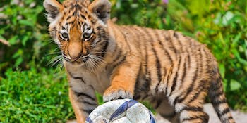Tiger and soccer ball