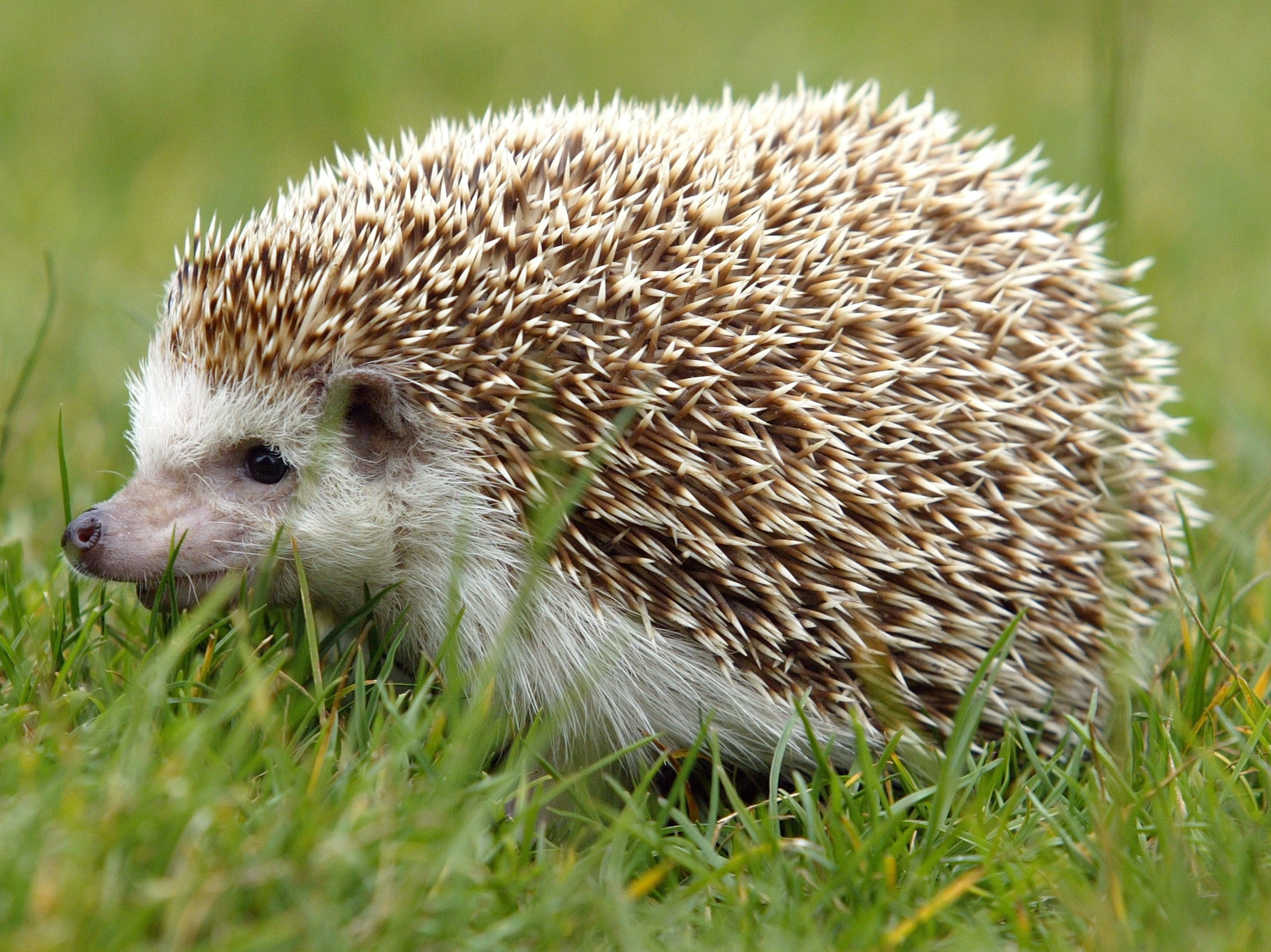 Hedgehog Spines Hold the Secret to Preventing Concussions | Inverse
