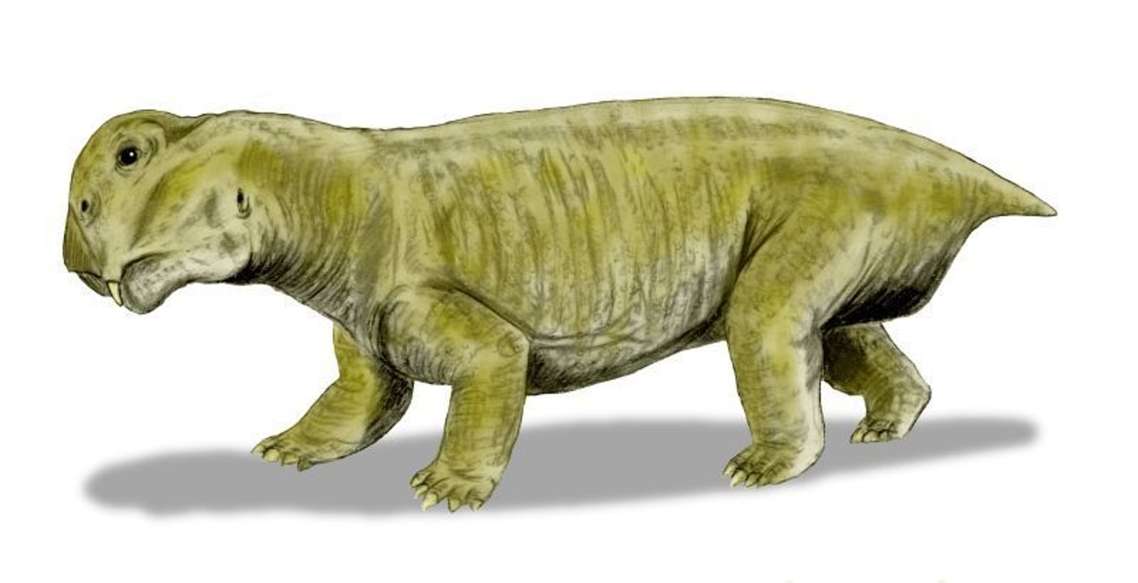 'Lystrosaurus murrayi, 'a dicynodont from the Early Triassic of South Africa, India and Antarctica.