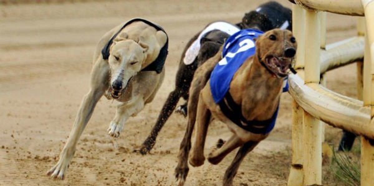 How To Pick Winning Greyhounds