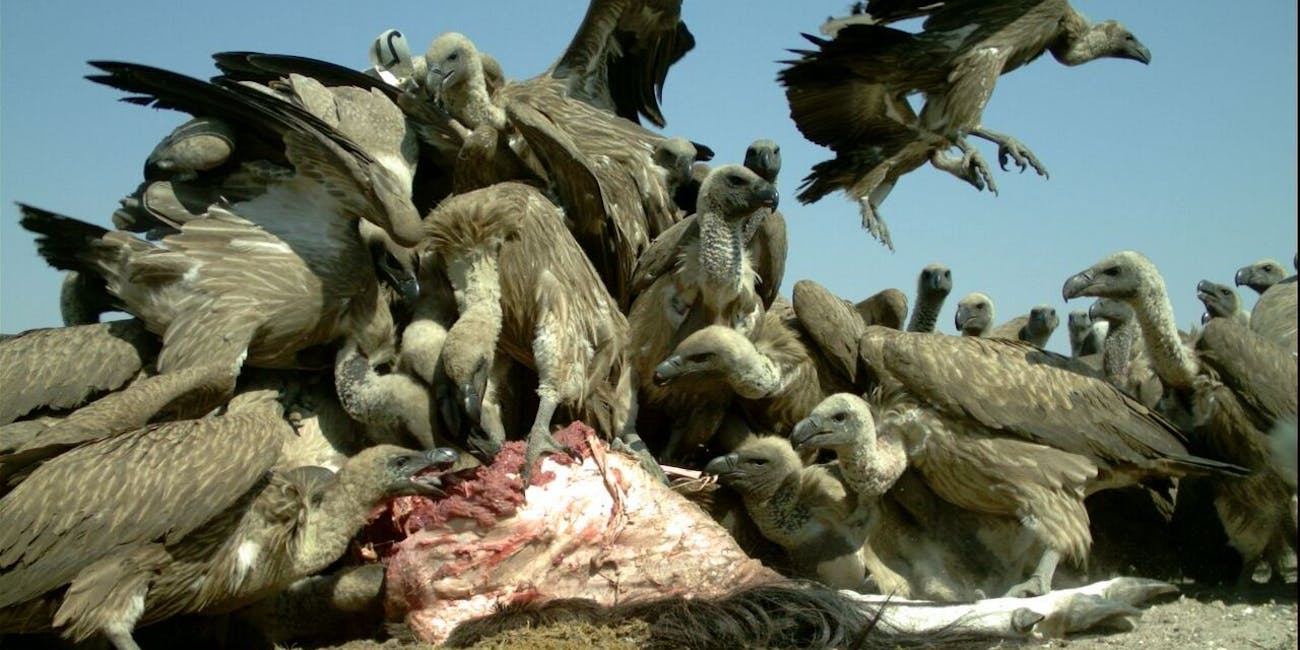 Researchers sampled vultures and found that they had elevated levels of lead in their blood during hunting season.