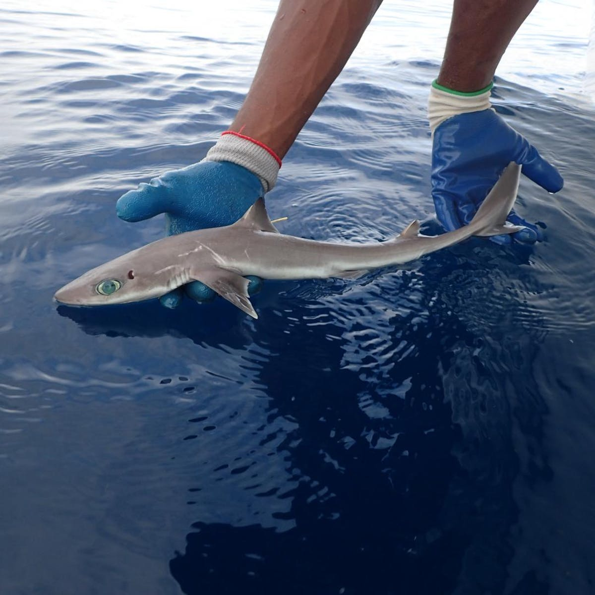 Shark Week: How Scientists Discovered a New Shark Species Near Florida