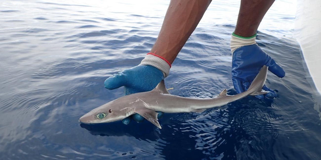 Shark Week: How Scientists Discovered a New Shark Species Near ...