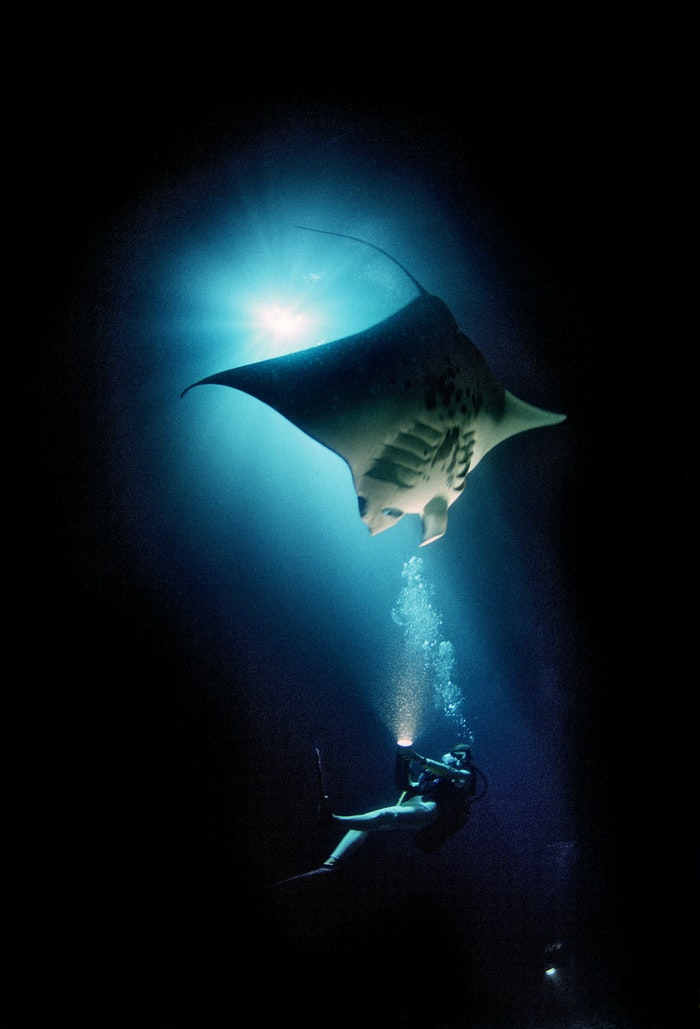 A diver swims with a manta ray, one of the at-risk species featured in 'Racing Extinction.'