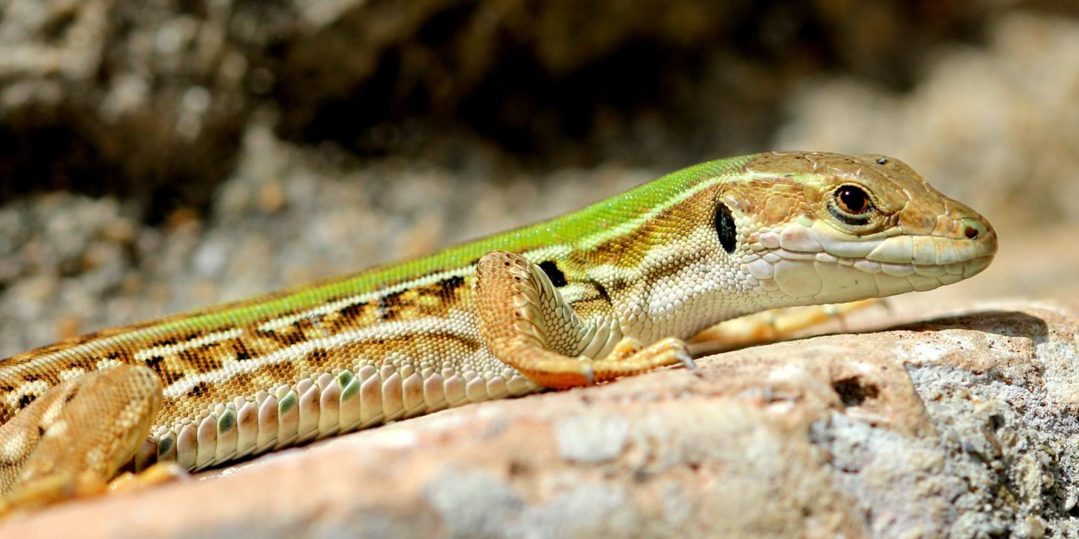 Brightly Colored Male Lizards Attract More Mates -- and Predators