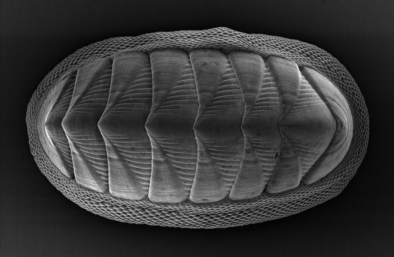 The chiton mollusk, which is about 1 to 2 inches long, has a series of eight large plates and is ringed by a girdle of smaller, more flexible scales.
