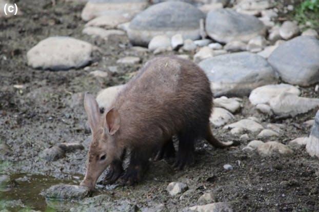 aardvark drink drinking water