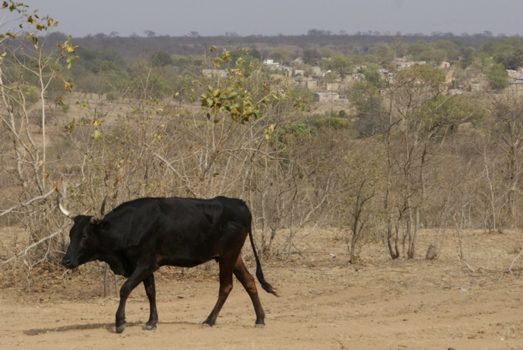 Drought-affected cattle farming in Mpumalanga province, South Africa.