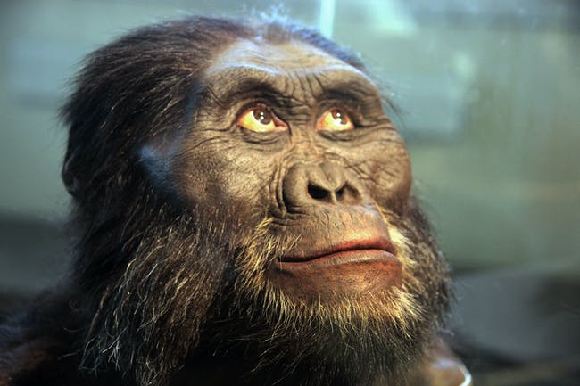 """A reconstruction of the head of an Australopithecus afarensis -- a human ancestor -- on display in the Hall of Human Origins in the Smithsonian Museum of Natural History in Washington, D.C. Australopithecus afarensis is an extinct human ancestor that lived between 3.9 to 2.9 million years ago. It is more closely related to human beings that Australopithecus africanus, which also lived at about the same time. Australopithecus afarensis was discovered in the Afar region of Ethiopia (hence the name """"afarensis"""") in November 1973. The genus name, """"Australopithecus"""", comes from the Latin word australis (or """"southern"""") and the Greek word pithekos (""""ape""""). The most famous find is a partial skeleton discovered on November 24, 1974. It was named named Lucy because the scientists who found it repeatedly played the song """"Lucy in the Sky with Diamonds"""" in celebration."""