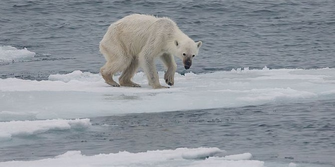 Seal Study Reveals Why Polar Bears Are All so Emaciated Now