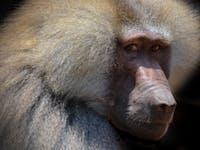 baboon, pig heart