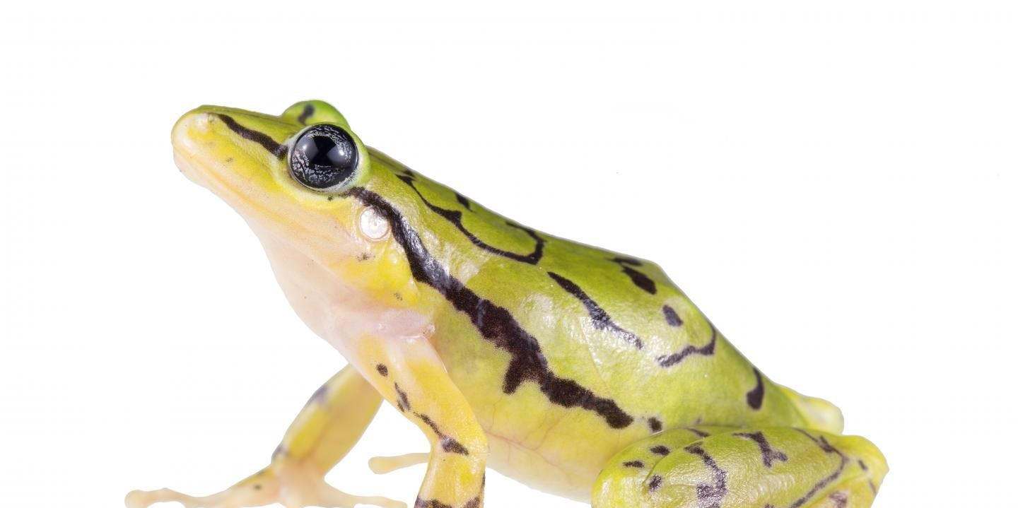 A new species of rainfrog from Ecuador's cloud forests